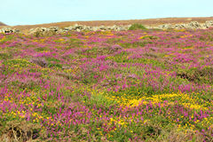 Heather or Ericaceae. Colourful heather or Ericaceae in bloom on a Welsh hillside Royalty Free Stock Images