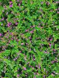 Heather fausse, hyssopifolia féerique Kunth de Herb FlowersCuphea image stock