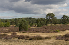 Heather field in Hoge Veluwe (Netherlands) Stock Images