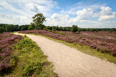Heather field. Path leading through blooming heather field in the Netherlands Stock Image