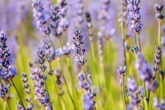 Heather Flower Field commune Image libre de droits