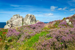 Heather flower fields on Swedish coast Stock Image