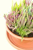 Heather in the flowerpot Royalty Free Stock Photography