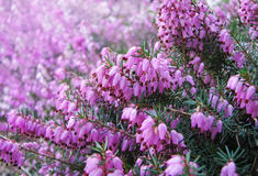 Heather flowers. Blossom in august Royalty Free Stock Photo