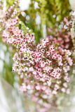 Heather flowers Royalty Free Stock Photography