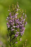 Heather flowers. Heather bush in taiga forest in Karelia, North Russia Royalty Free Stock Image