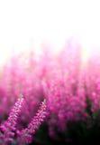 Heather Flowers Photos stock