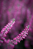 Heather Flowers photographie stock libre de droits