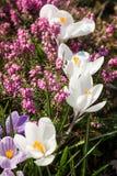 Heather Flowers Calluna roxo Imagens de Stock Royalty Free