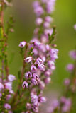 Heather flowers close up Royalty Free Stock Photos