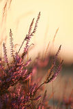 Heather flowers close up at sunset Stock Photo