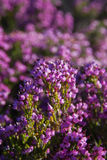Heather Flowers Stock Images
