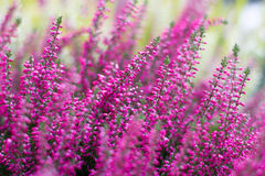 Heather flowers Stock Photography