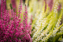 Heather flowers Stock Image
