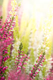Heather flowers Royalty Free Stock Images