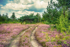 The heather flowers landscape. Ukrainian nature. The heather flowers field, rural road, pine and aspen trees, cloudy landscape. Ukrainian nature Stock Photos