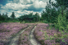 The heather flowers landscape. Ukrainian nature. The heather flowers field, rural road, pine and aspen trees, cloudy landscape. Ukrainian nature Stock Photography