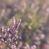 Heather flowers stock photos