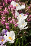 Heather Flowers. Purple Calluna Royalty Free Stock Images