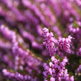 Heather Flowers. Purpurfärgad Calluna Royaltyfri Bild
