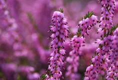 Heather Flowers. Purpurfärgad Calluna Arkivfoton