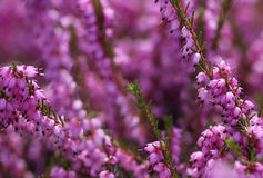Heather Flowers. Purpurfärgad Calluna Royaltyfria Bilder