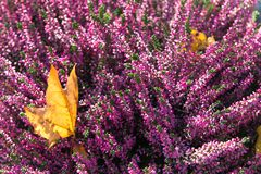 Heather flowers, shallow depth of field Royalty Free Stock Photography