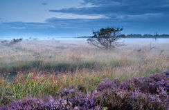 Heather flowers on swamp in misty morning Royalty Free Stock Photos