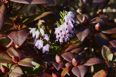 Heather flowers Royalty Free Stock Photo
