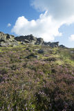 Heather in full bloom, Stanage edge, Peak District, Derbyshire Stock Photo
