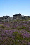 Heather in full bloom, Stanage edge, Peak District, Derbyshire Royalty Free Stock Images