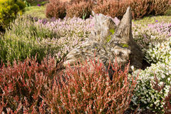 Heather garden Royalty Free Stock Image