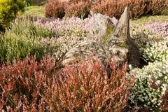 Heather garden royalty free stock image