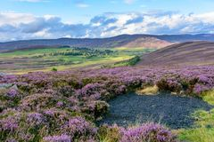 Heather on the gently rolling hills of Northern Scotland. Beautiful native purple heather on the gently rolling hills of the Cairngorms national park in Northern royalty free stock photo