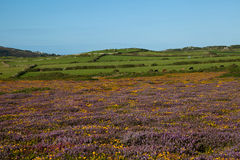 Heather and gorse Stock Images