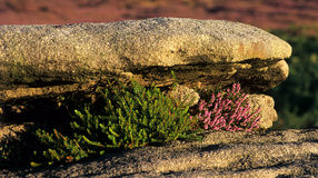 Heather growing in rocks. Royalty Free Stock Images