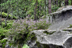 Heather growing in rocks Stock Photo
