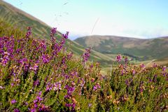 Heather on the hill Royalty Free Stock Image