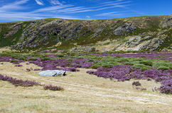 Heather on the Hills. Heather-covered hills in the region of Sanabria, Zamora Province, Spain Royalty Free Stock Photography