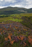 Heather hills of Scotland Royalty Free Stock Photography