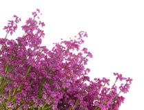 Heather isolated. On white background Stock Image