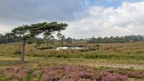 Heather in Kalmthout Belgium. View of the Kalmthout heather nature area, Belgium Royalty Free Stock Image