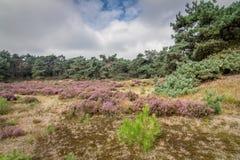 Heather in Kalmthout Belgium. View of the Kalmthout heather nature area, Belgium Royalty Free Stock Photo