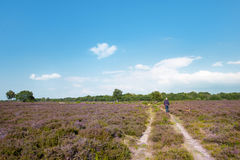Heather landscape. Purple heather landscape with tree at the horizon Royalty Free Stock Image