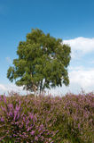 Heather landscape. Purple heather landscape with tree at the horizon Royalty Free Stock Photos