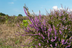 Heather landscape. Purple heather landscape with blue sky and clouds Royalty Free Stock Photo