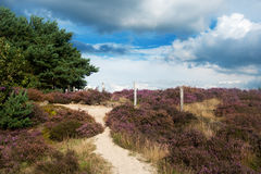 Heather landscape. Nature heather landscape with purple flowers in the fields Royalty Free Stock Image