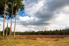 Heather landscape. Nature heather landscape with purple flowers in the fields Stock Photography