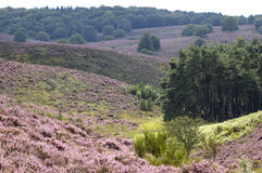 Heather Landscape stock photo