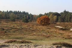 Heather landscape in autumn, National park Utrechtse heuvelrug in the Netherlands. Heather landscape in the utrechtse heuvelrug during autumn season in the Royalty Free Stock Images